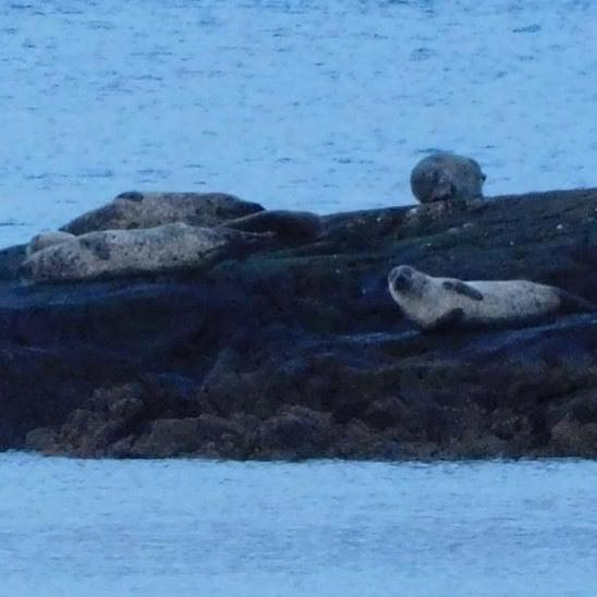 Seals pictured off Wee Cumbrae