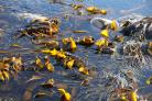 Seaweed solution sought for Hunterston B