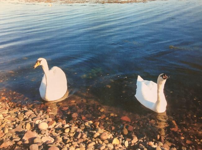 Shock after swan attacked at Aubery
