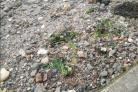 Dog owners beware ... Toxic plant warning on Largs beach