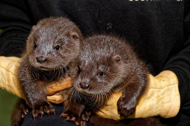 Move to save otters on A78 Largs Skelmorlie road