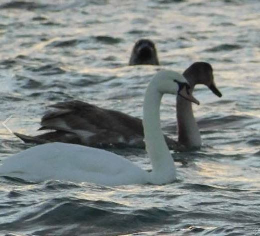Swans and seals are regularly spotted at West Kilbride.